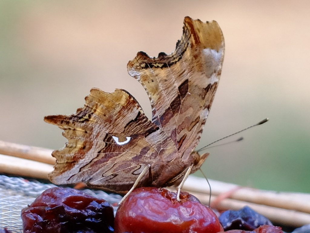 Satyr Comma (Polygonia satyrus) on drying cherries