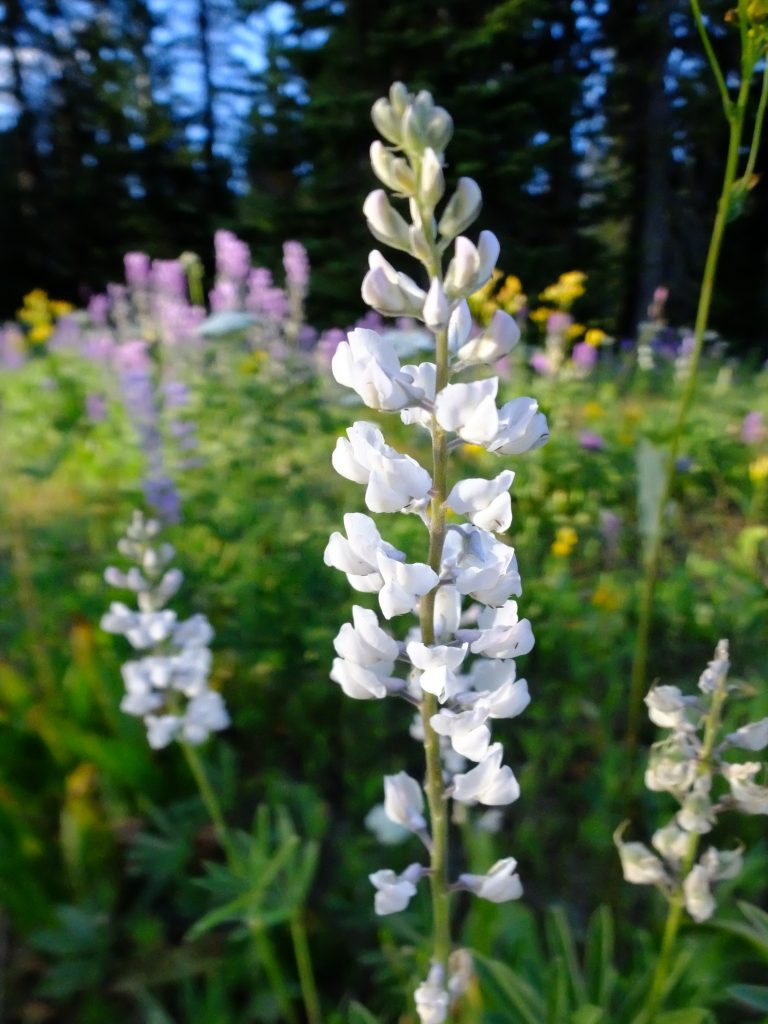 White flowering Lupine. Of the many thousand Lupines we saw, this was the only one that was white.