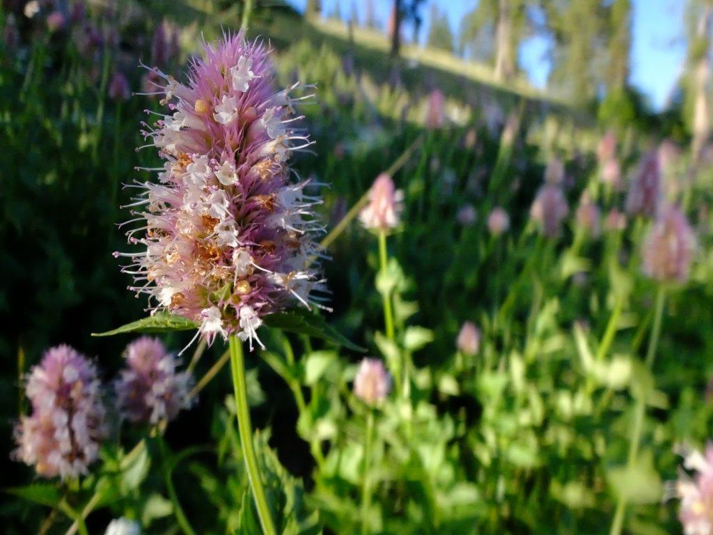 Nettleleaf Horsemint (Agastache urticifolia)