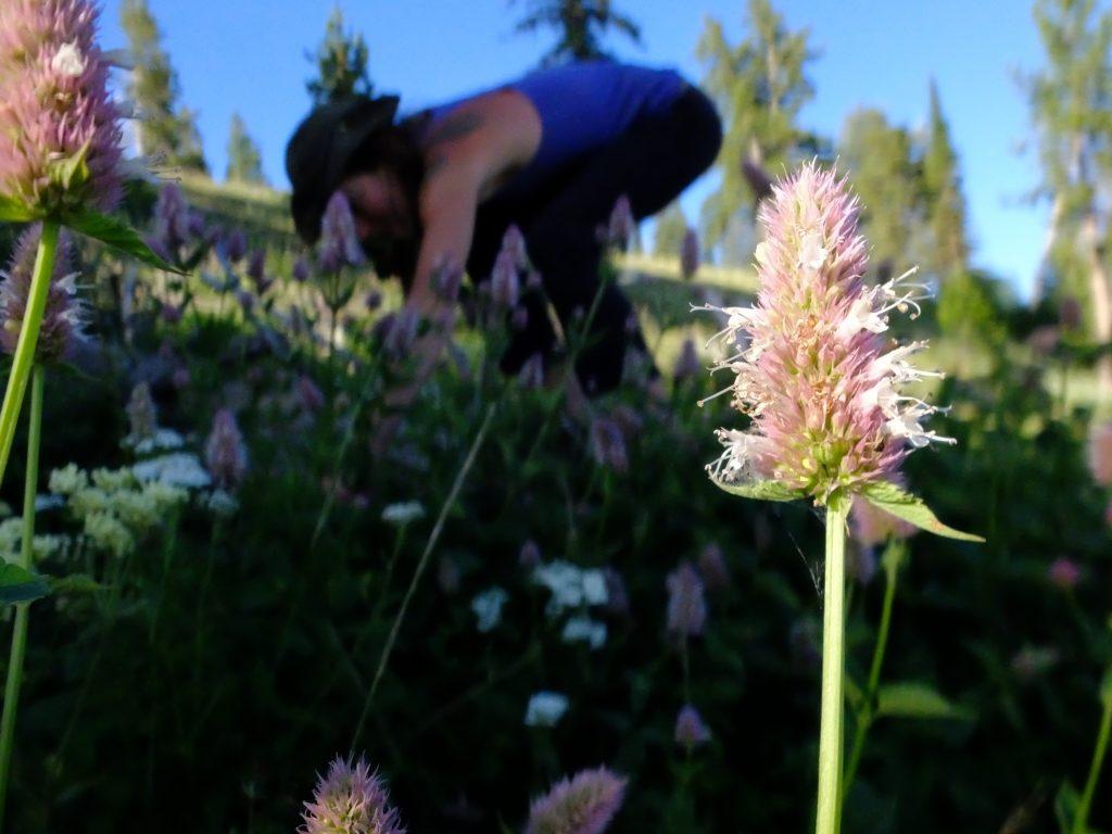 Harvesting Nettleleaf Horsemint (Agastache urticifolia)