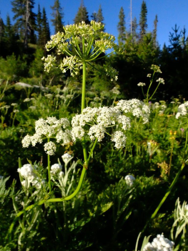 Oshalla (genus Ligusticum) flowers