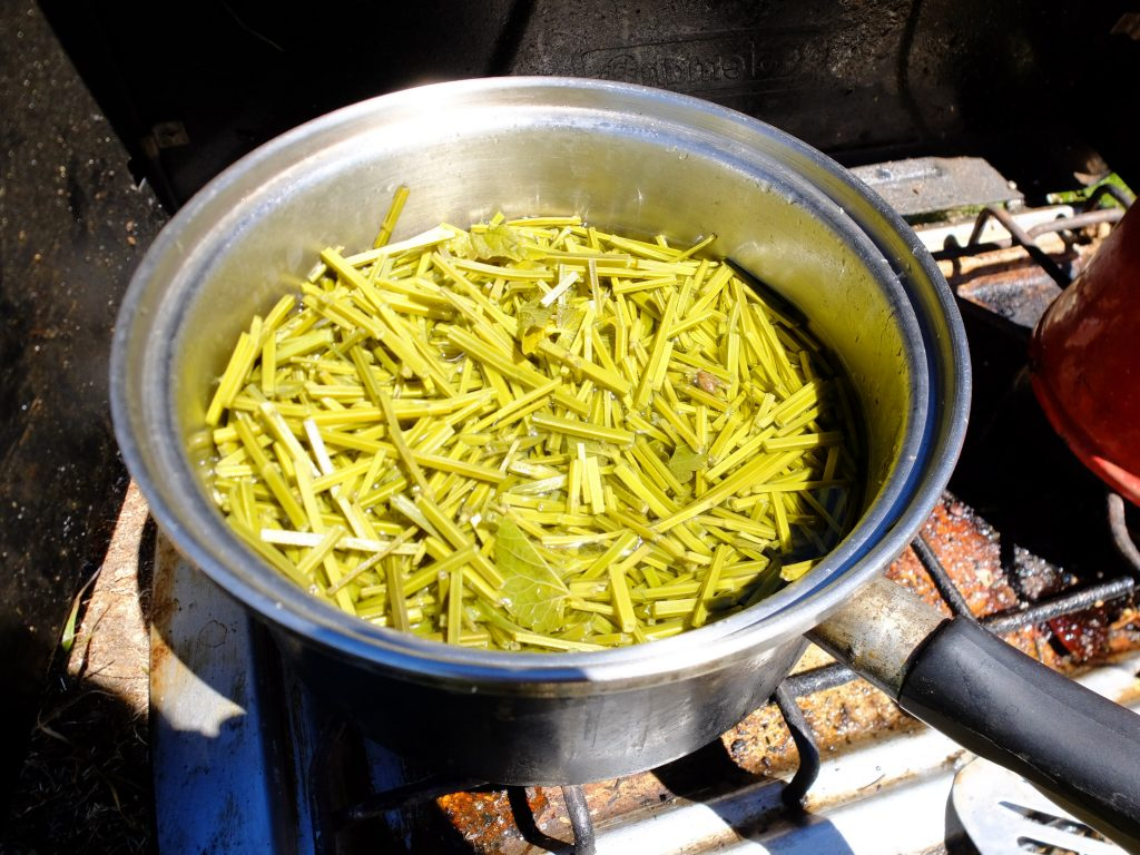 Making tea from the stems of Nettleleaf Horsemint (Agastache urticifolia), after stripping the leaves and flowers to tincture