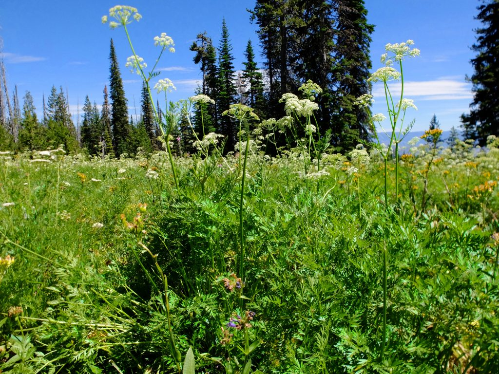 Field of Oshalla (genus Ligusticum)