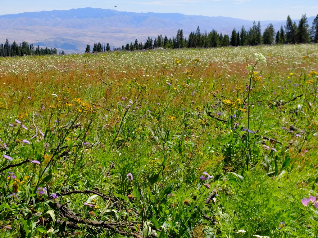 Wildflower meadow in Wallowa-Whitman Nat'l Forest, near Fish Lake