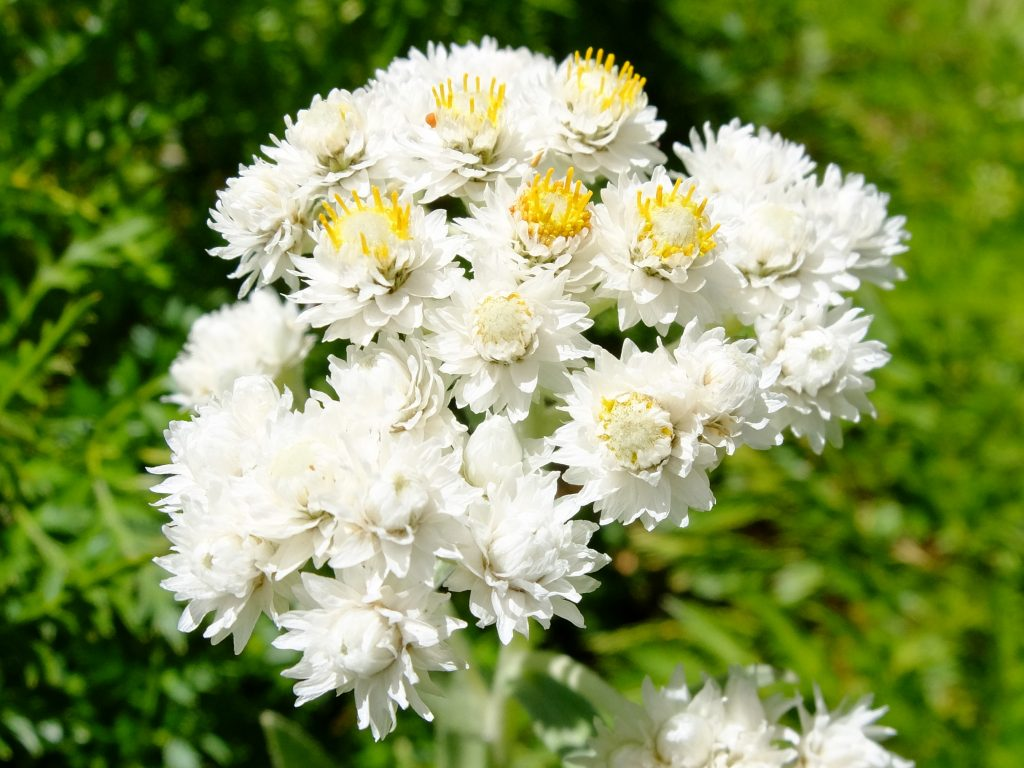 Pearly Everlasting (Anaphalis margaritacea)