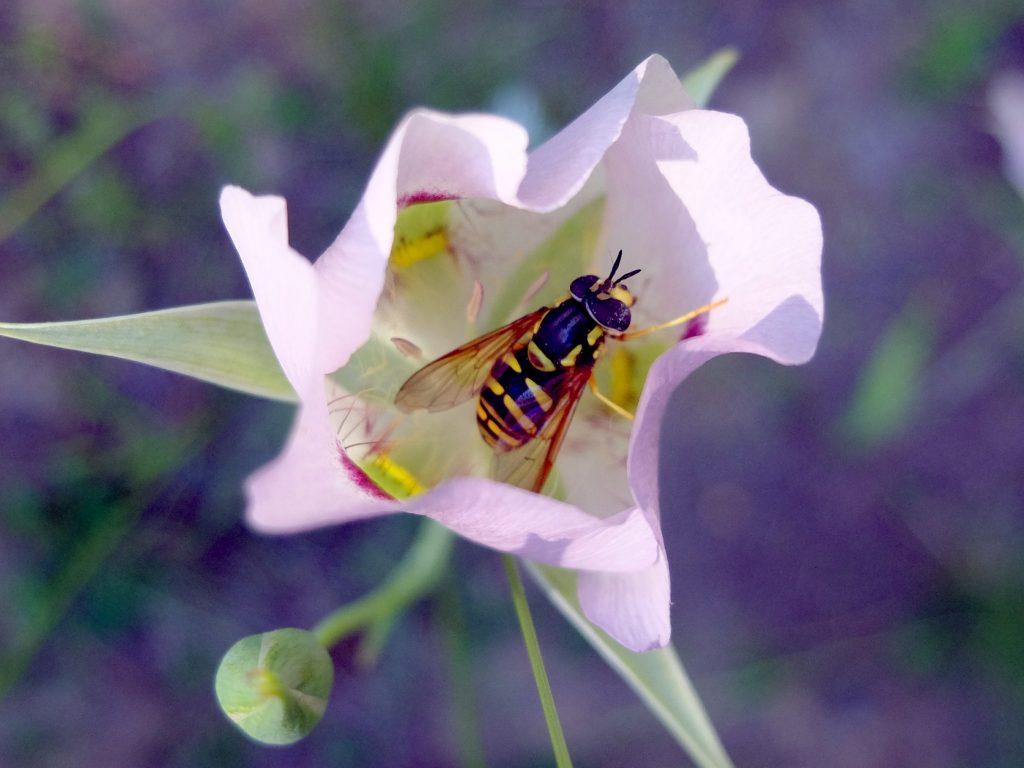 Bigpod Mariposa (Calochortus eurycarpus), with a pollinator