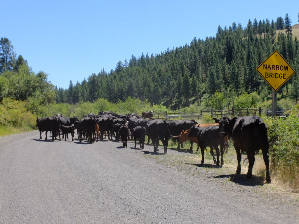 Cows in the Wallowa-Whitman Nat'l Forest