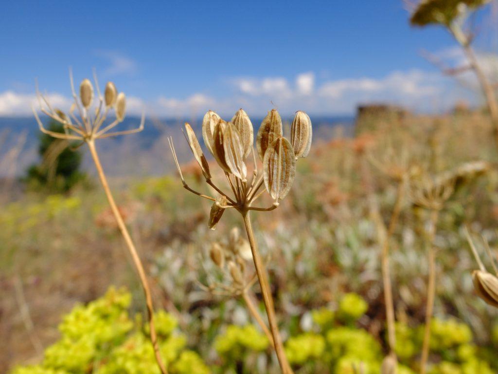 Biscuitroot (genus Lomatium)