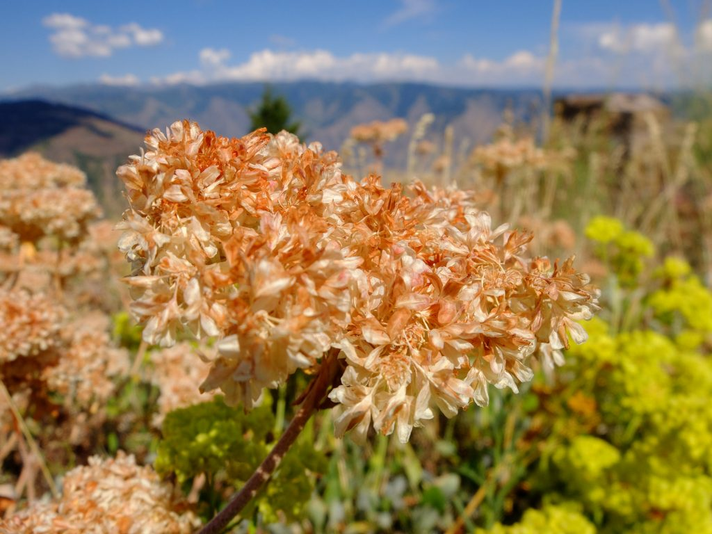 Wild Buckwheat (genus Eriogonum); not a food plant, but a companion to Yampah, Biscuitroot, etc.
