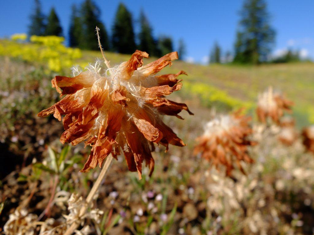 Giant clover (genus Trifolium)