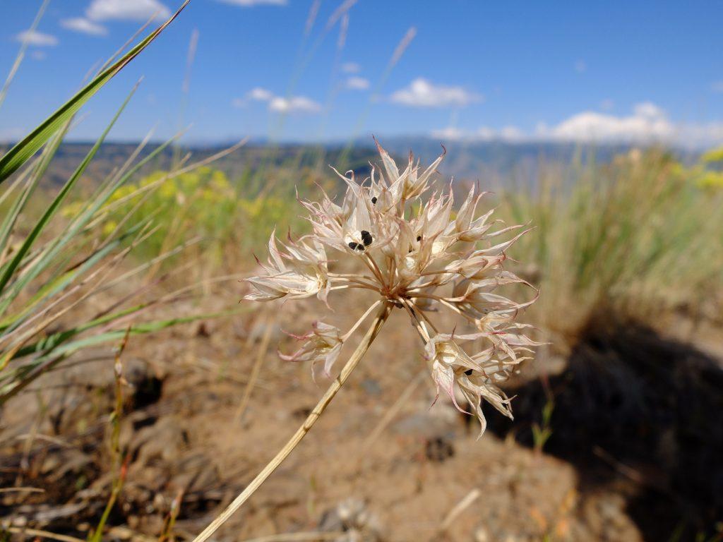 Wild Garlic (genus Allium)