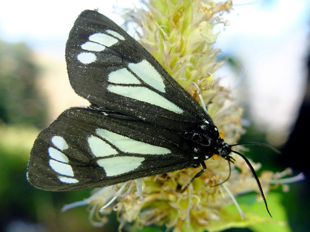 Police Car Moth (Gnophaela vermiculata) on Nettleleaf Horsemint (Agastache urticifolia)