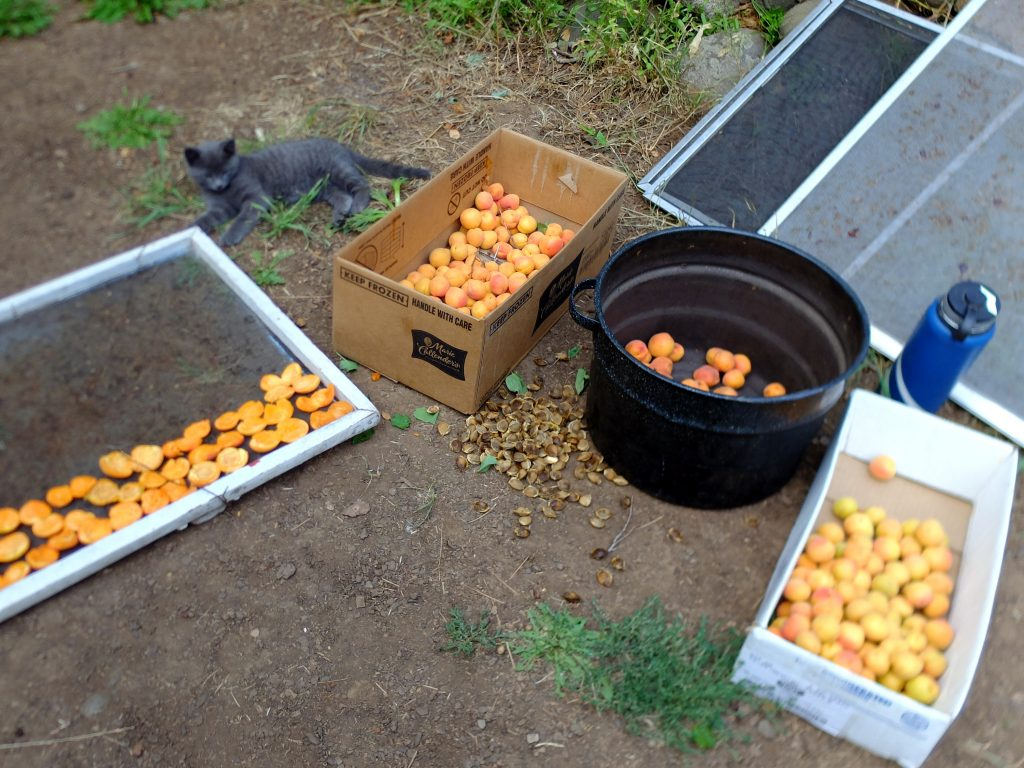 Processing apricots to dry on screens