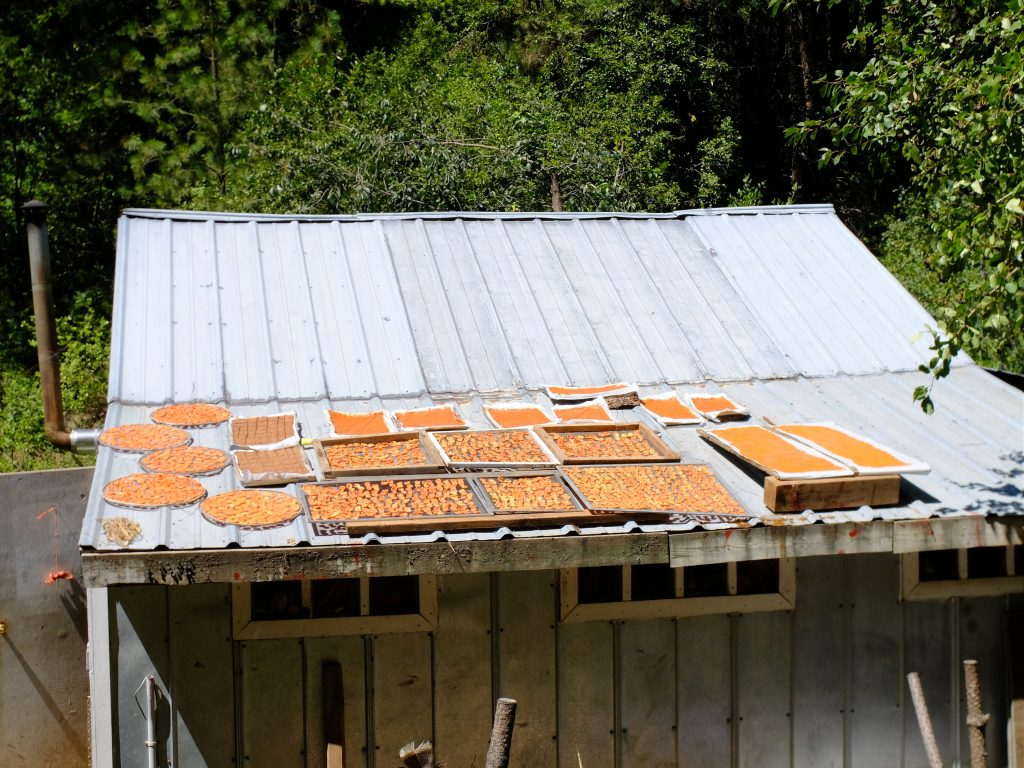 Processed apricots drying on roof