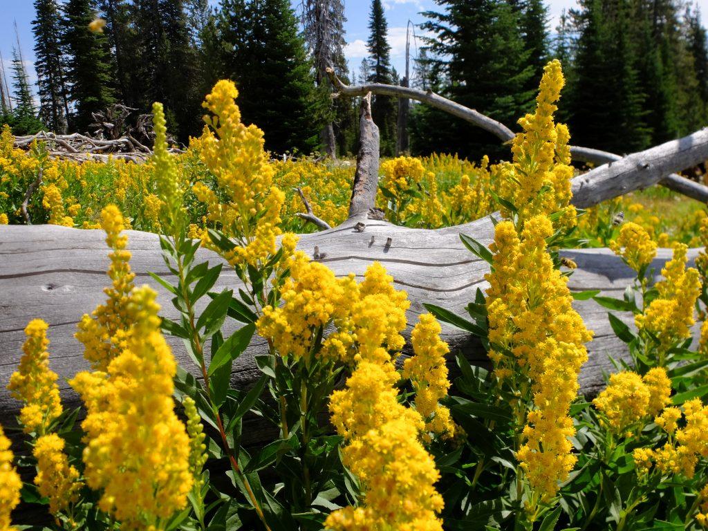 Cascade Canada Goldenrod (Solidago elongata)