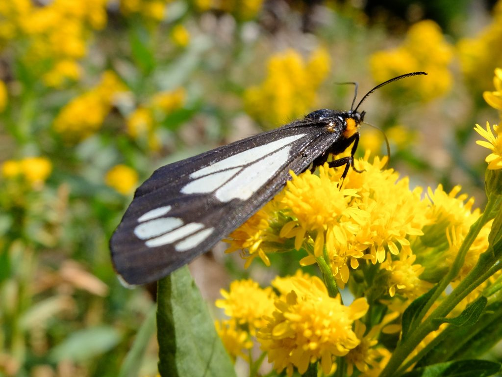 Police Car Moth (Gnophaela vermiculata), feeding on nectar of Cascade Canada Goldenrod (Solidago elongata)