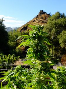 Cannabis in Mendocino County