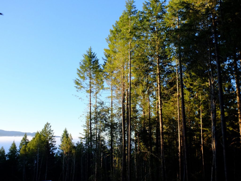 Overcrowded forest on edge of a clear-cut in Humboldt County