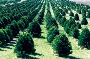 Christmas tree farm in unknown location. Photo public domain from USDA.