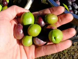 Olives can be cured at any stage of ripeness