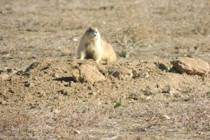 prairie-dog-survivor