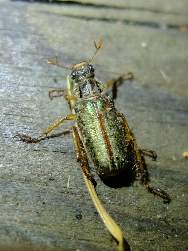 Pine Chafer (genus Dichelonyx)