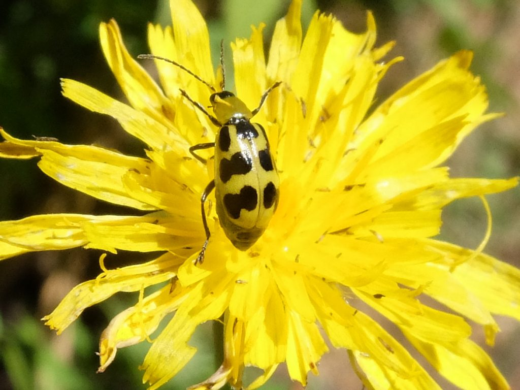 Cucumber Beetle (Chrysomelidae family)