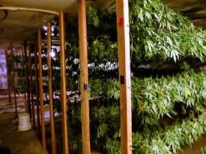 Cannabis drying in a shed