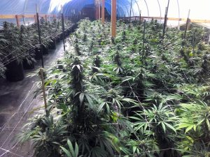 Cannabis growing in a hoophouse in Humboldt County