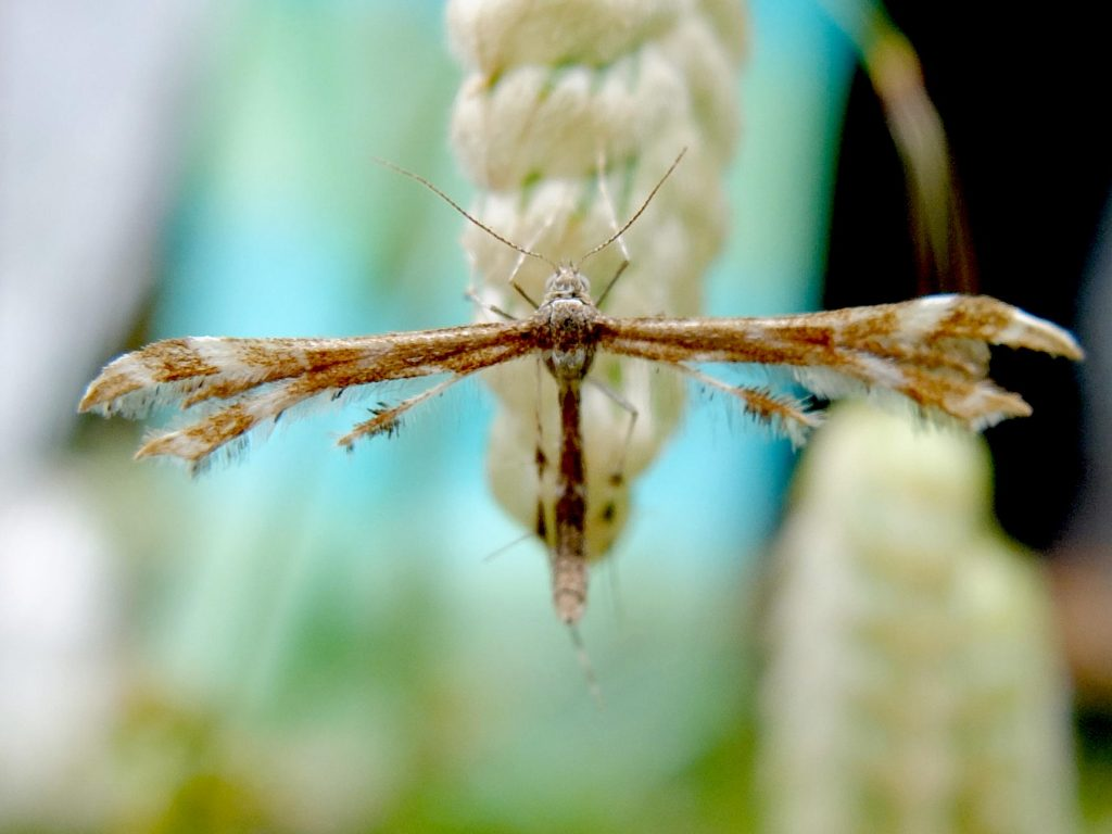 Plume Moth (family Pterophoridae)