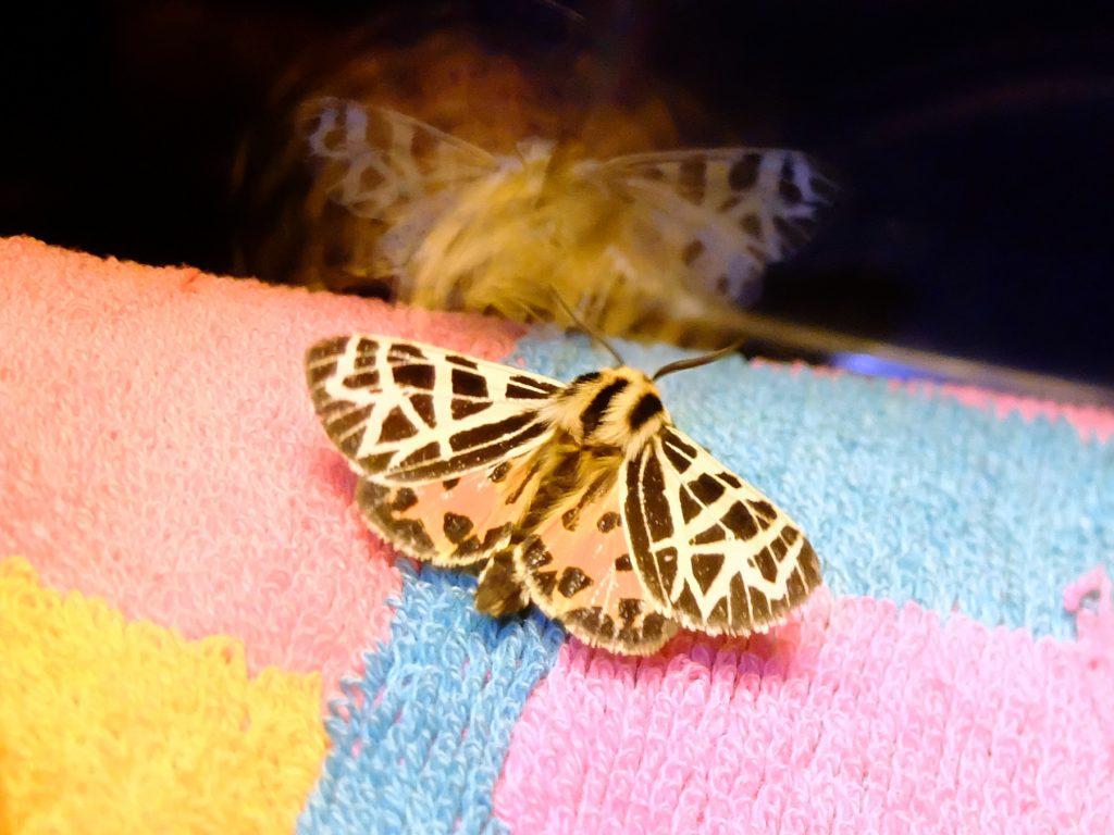 Ornate Tiger Moth (Grammia ornata)