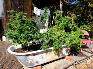Old school hippie grow