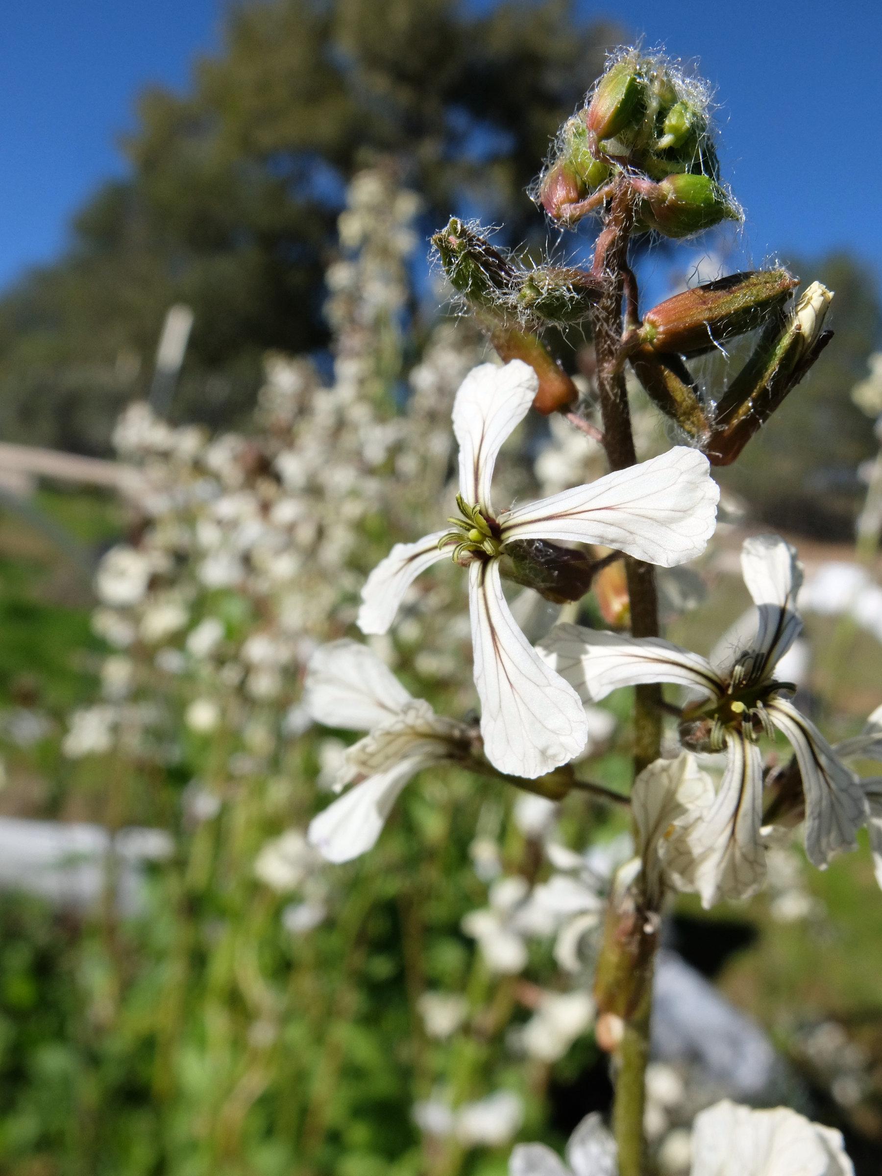 Arugula (Eruca sativa)