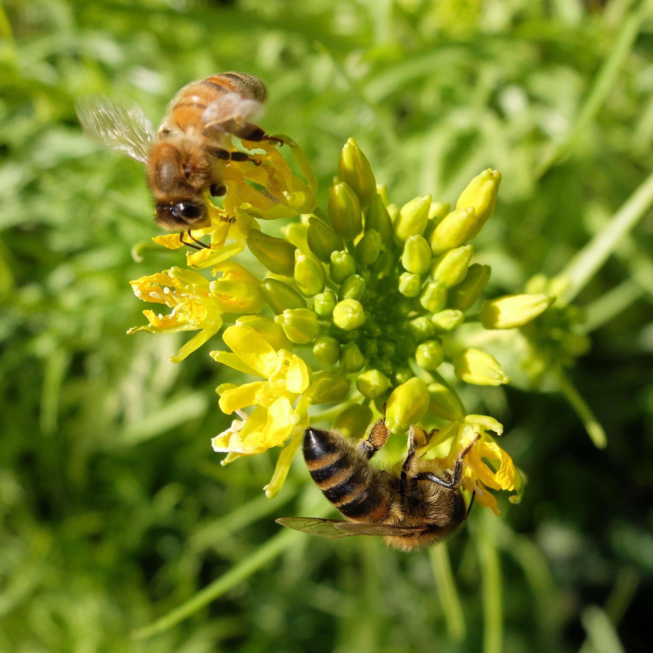 Bees on Mizuna greens