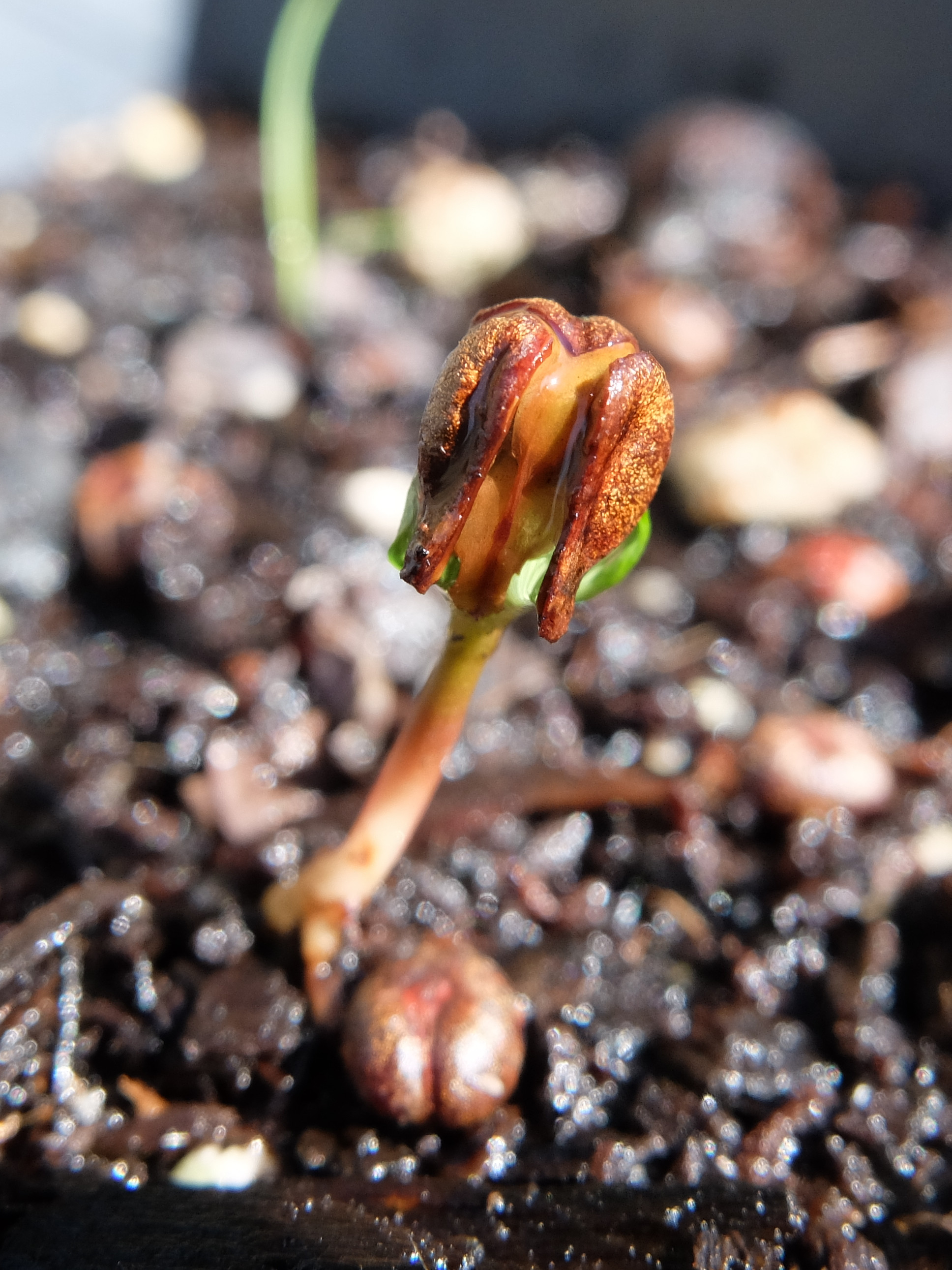 Grape seed germinating
