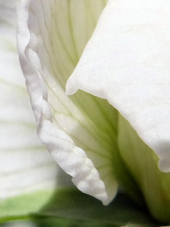 Garden Pea blossom