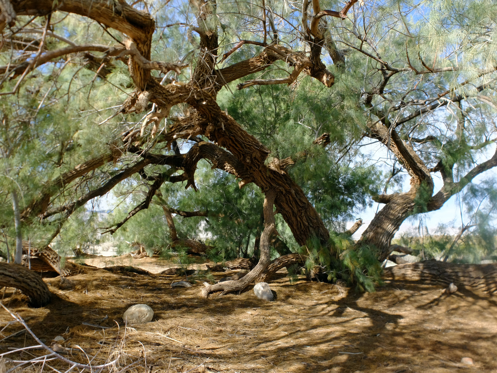 Saltcedar trees at an undisclosed location in southern California