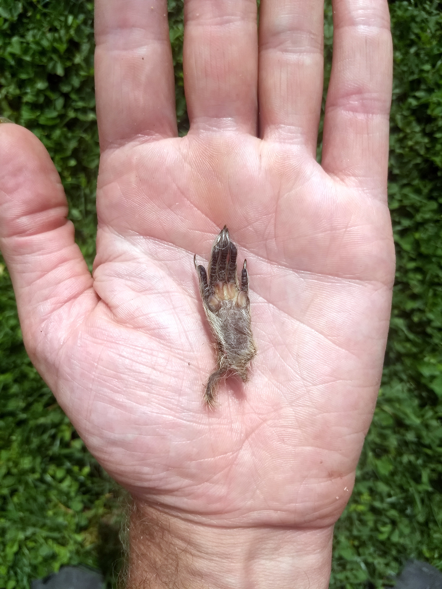 Squirrel's paw in my hand