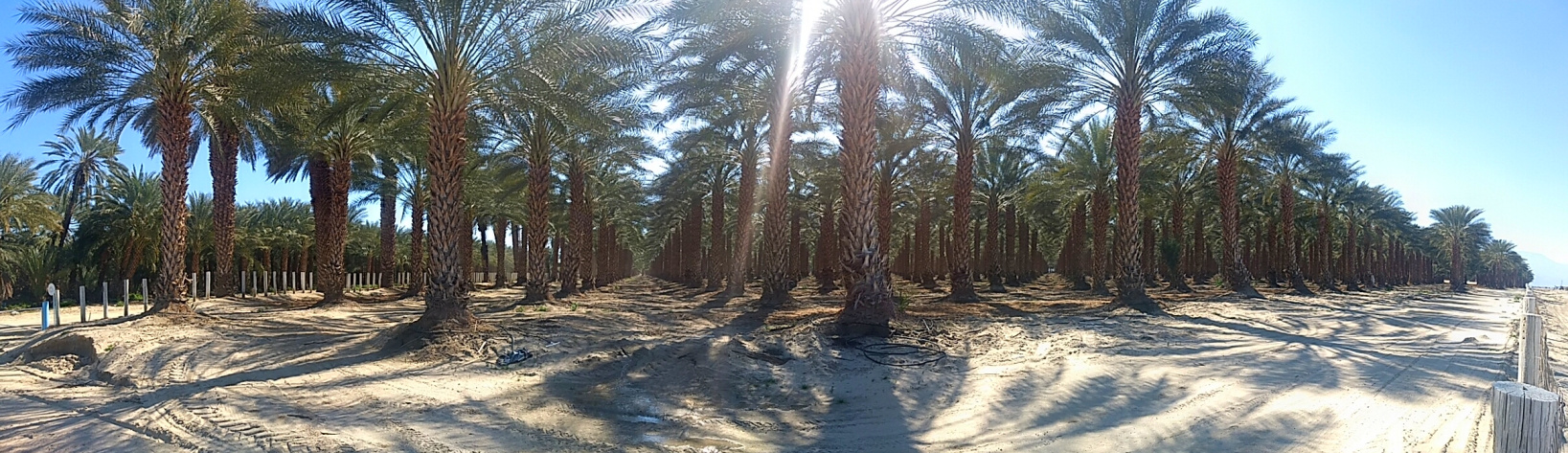 Date Palm orchard in southern California, in the desert near the Salton Sea