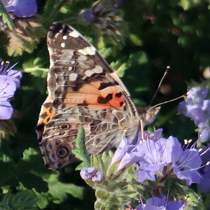 Painted Lady (Vanessa) on Scorpionweed (Phacelia)