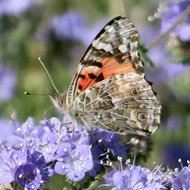 Painted Lady on Phacelia