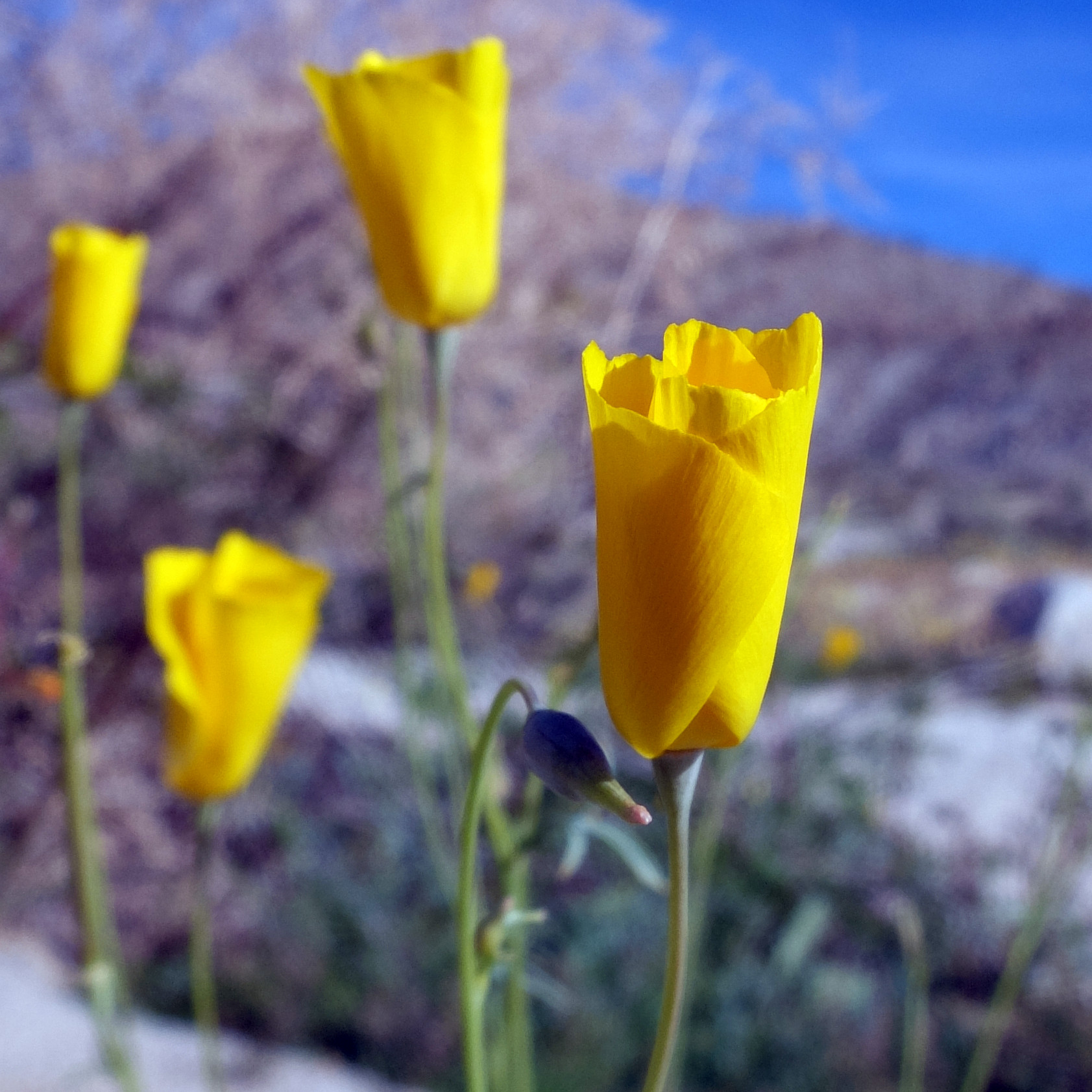 California Poppy in Anza-Borrego State Park, March 2019
