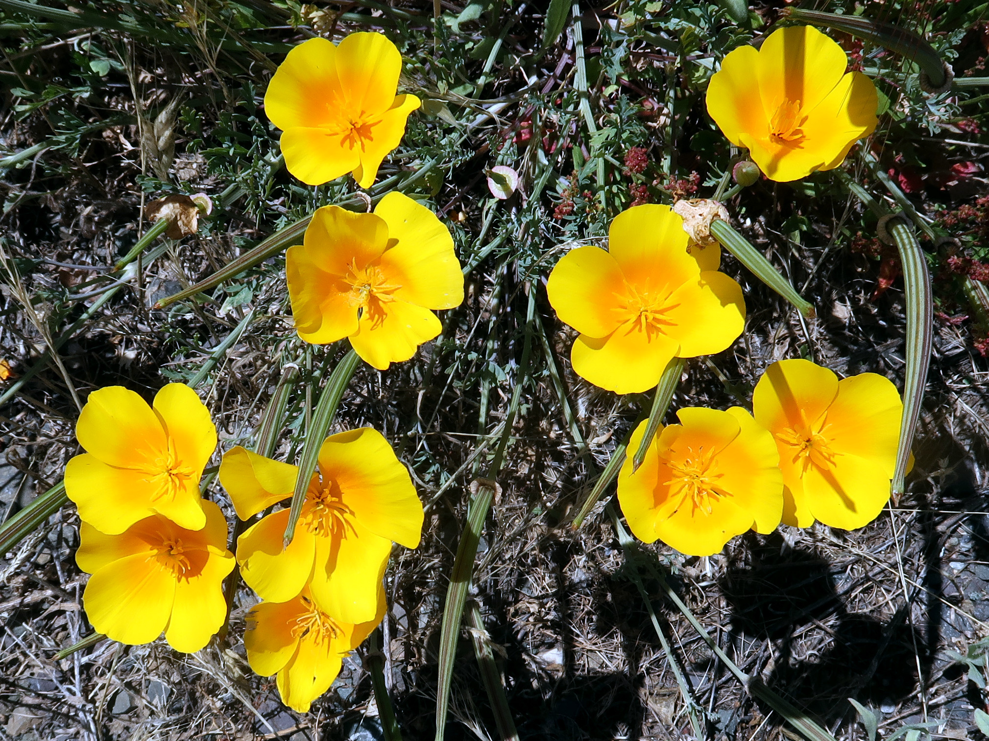 Cal Poppies along Hwy 101, May  2019