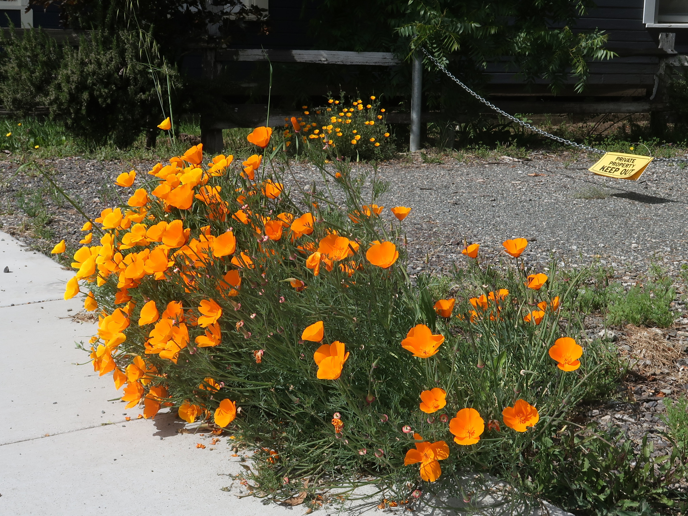California Poppies in Willits, California