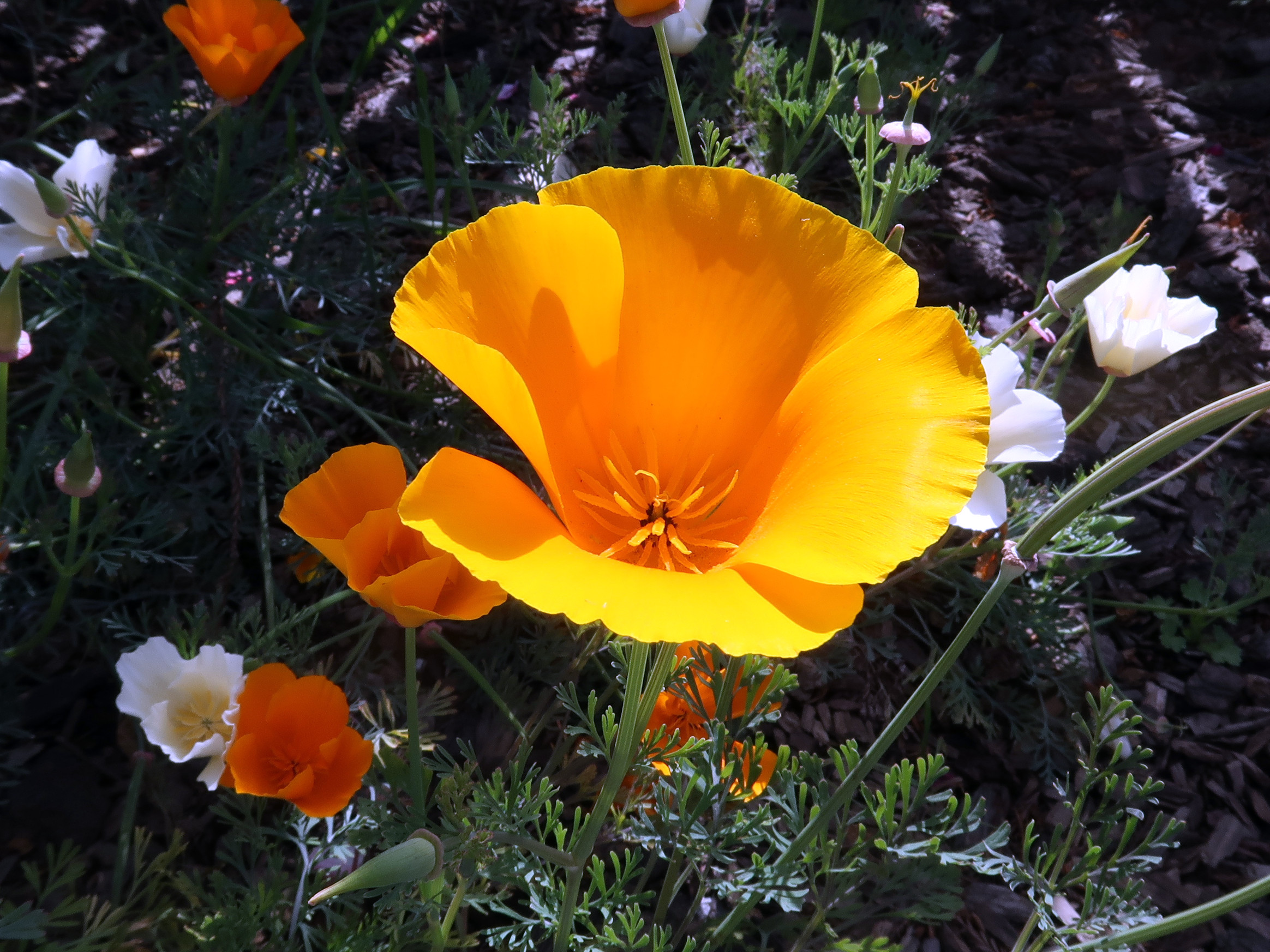 California Poppies in Willits, California - note the white flowers; they are a natural variation