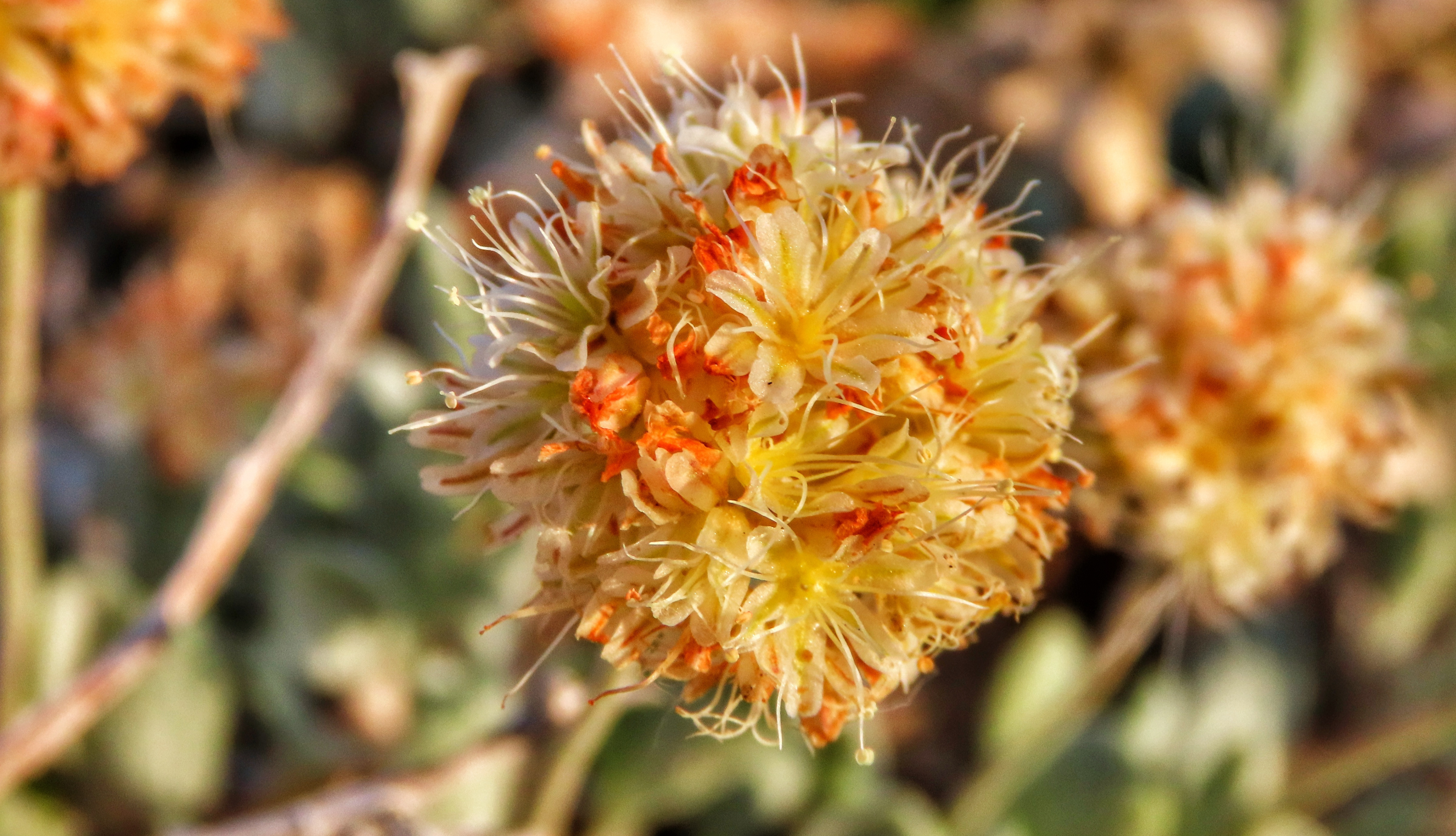 Tiehm's buckwheat flower by Patrick Donnelly/Center for Biological Diversity.