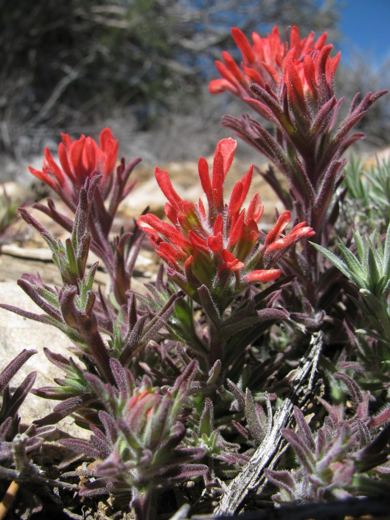"""Desert Indian Paintbrush"""