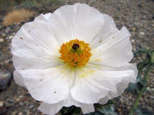 Mojave Prickly Poppy (Argemone corymbosa) flower