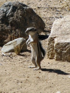 Chippee (Ammospermophilus leucurus) on hind legs, watching and listening for danger.