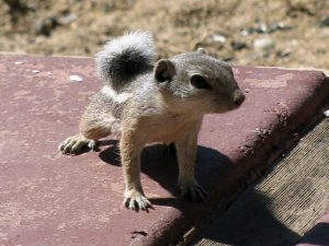 Young male chippee (Ammospermophilus leucurus)
